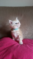 D'Agora Lyncis - Chaton disponible  - Maine Coon