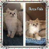 CH. mcb'cats Marco Polo