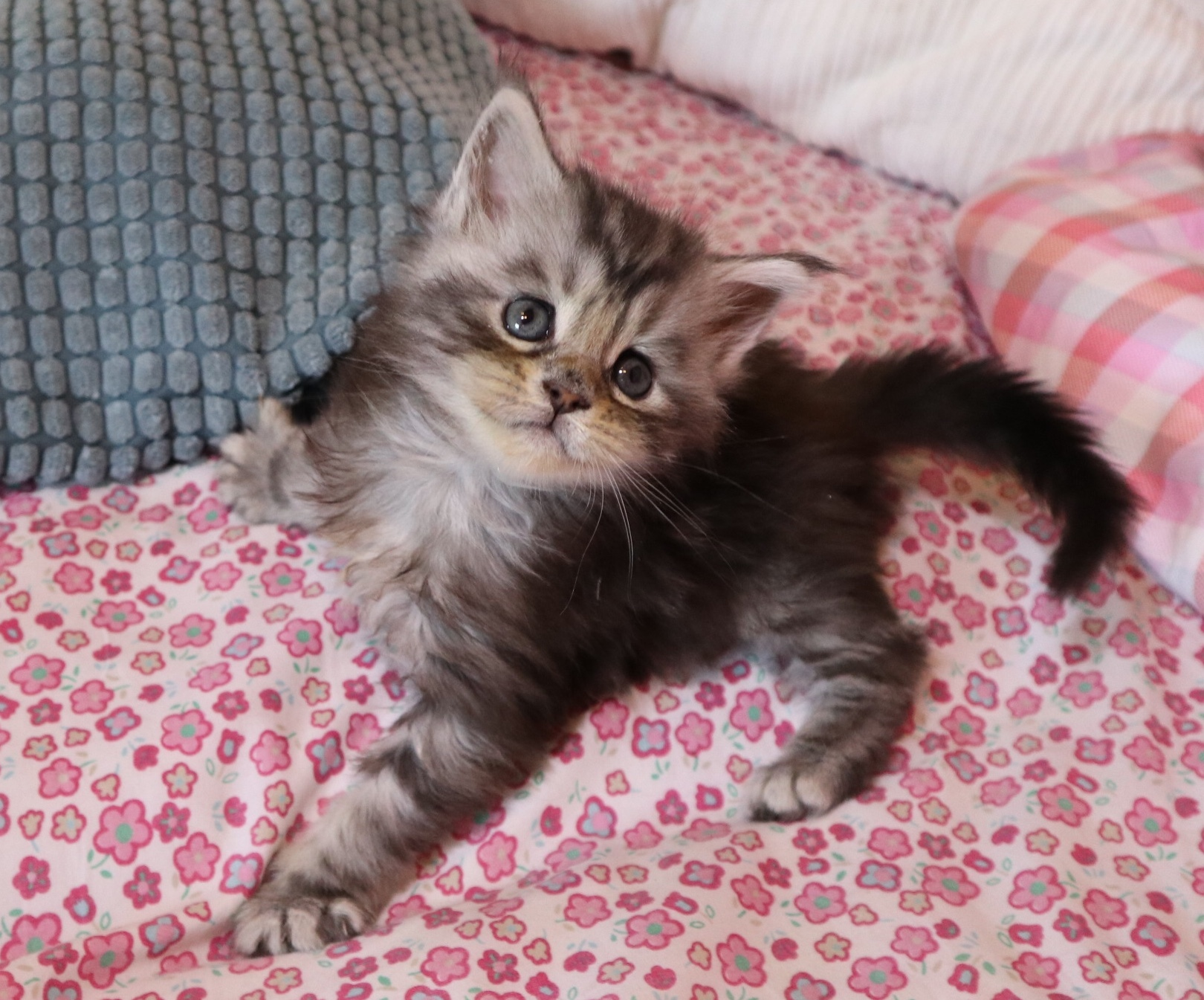 Maine coon black silver blotched tabby