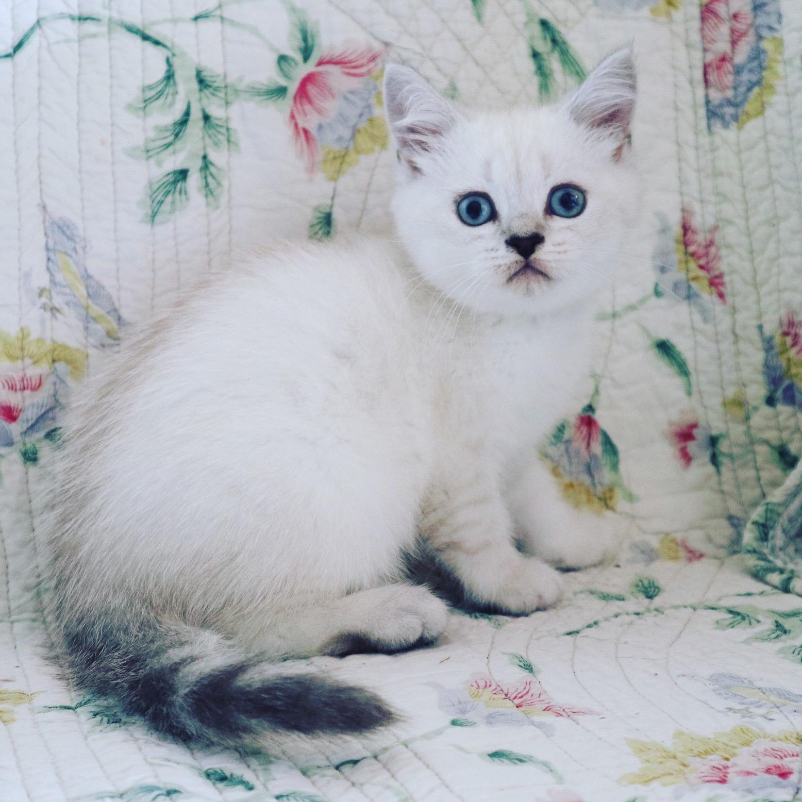 chaton British Shorthair et Longhair Du Lauragais