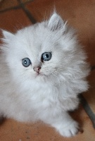 British Longhair Black silver shaded - British Shorthair et Longhair
