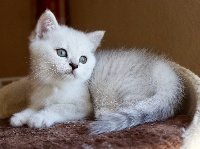 Du Lauragais - Chaton disponible  - British Shorthair et Longhair