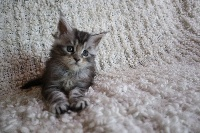 Maine coon black silver blotched tabby - Maine Coon
