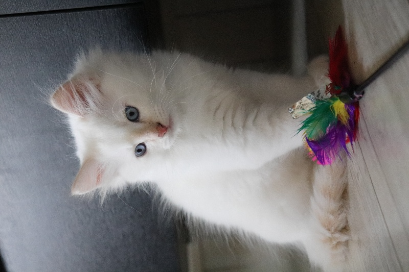 CHATON MALE CREME SILVER TABBY POINT -
