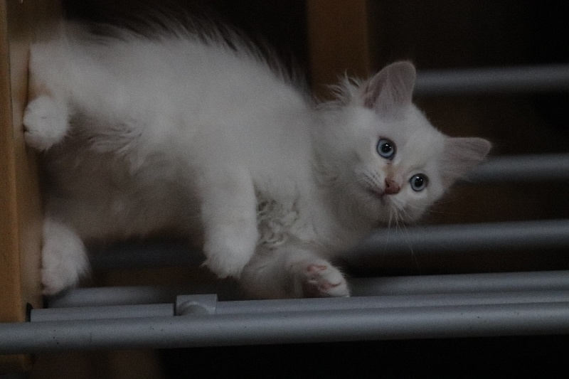 CHATON MALE CREME SILVER TABBY POINT