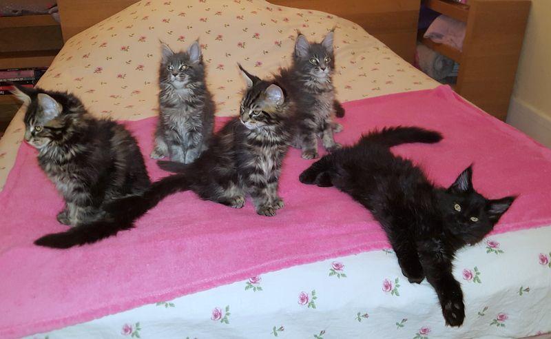 Du Valviner - Plus de chatons disponibles