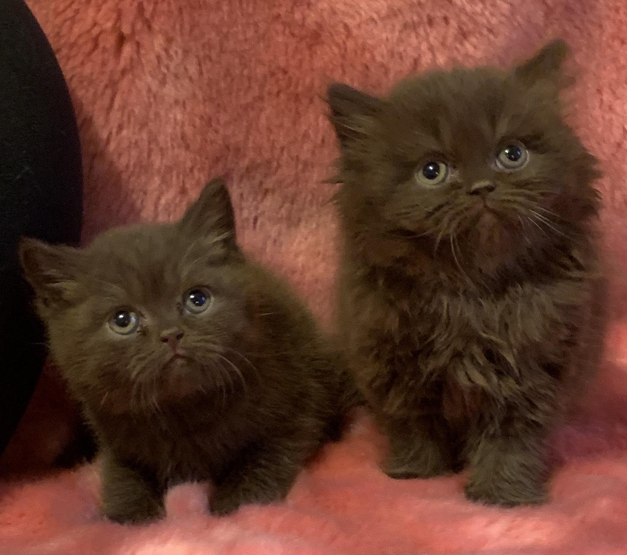 chaton British Shorthair et Longhair Chubby-Moon's