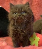 Chubby-Moon's - Chaton disponible  - British Shorthair et Longhair