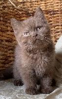 PEPITO - British Shorthair et Longhair