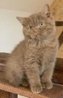 O'gustin - British Shorthair et Longhair