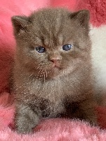 Patchouli - British Shorthair et Longhair