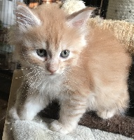 Du Royaumdautecour - Chaton disponible  - Maine Coon
