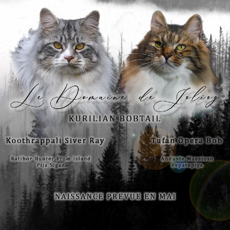 chaton Kurilian Bobtail poil court et poil long De Jolioz