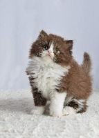 Secret Attitude - Chaton disponible  - British Shorthair et Longhair