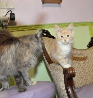 CHATON creme silver et blanc - Maine Coon
