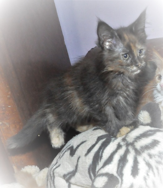 CHATON black tortie