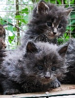 RIO Blue blotched tabby - Maine Coon
