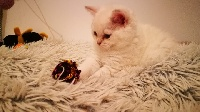 De Tisca Love - Chaton disponible  - Selkirk Rex poil court et poil long