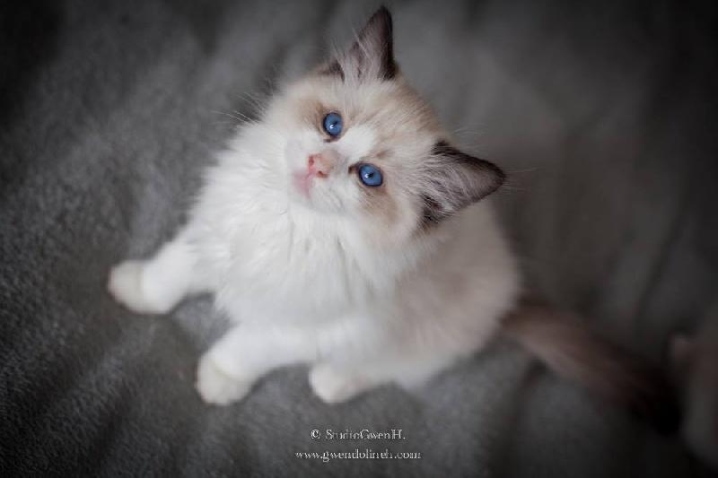 chaton Ragdoll Des Rives Du Viaur