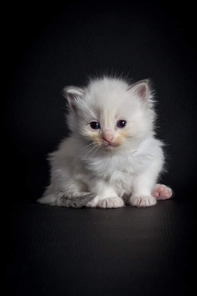 chaton Ragdoll Des Rives Du Viaur