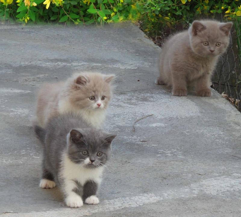 chaton British Shorthair et Longhair De Mamyco