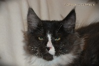 De Yellowstone - Chaton disponible  - Maine Coon