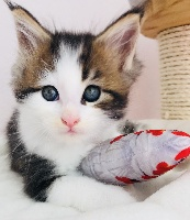 by Lullicat's - Chaton disponible  - Maine Coon