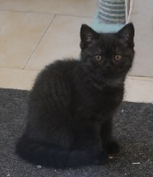 Queens Cats - Chaton disponible  - British Shorthair et Longhair