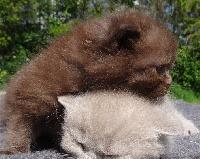 Pacha - British Shorthair et Longhair