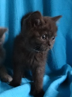 D'Oup-Ouaout - Chaton disponible  - British Shorthair et Longhair