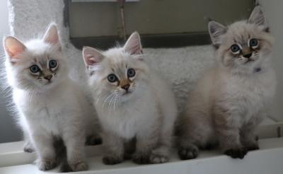 Des Saphirs Sur Gaveau - De nouvelles photos des chatons ont été ajoutées