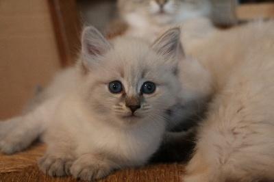 Des Saphirs Sur Gaveau - Venez découvrir nos chatons sur l'album qui leur est dédie!