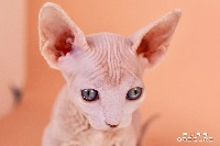 Purr Obscure - Chaton disponible  - Sphynx