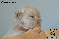 Of British Fantasy - Chaton disponible  - British Shorthair et Longhair