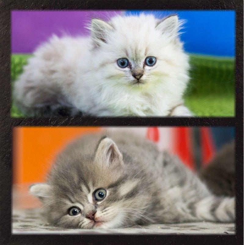 De Ka'zaï - Nous avons des chatons !