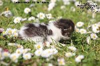 Mr tabbyco - British Shorthair et Longhair
