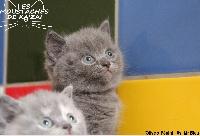 Bleu - British Shorthair et Longhair
