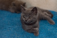 De Ka'zaï - British Shorthair et Longhair - Portée née le 02/06/2020
