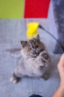 De Ka'zaï - Chaton disponible  - British Shorthair et Longhair