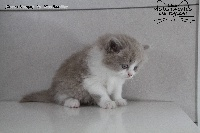 Miss Lilac - British Shorthair et Longhair