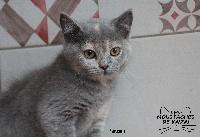 Panzani - British Shorthair et Longhair