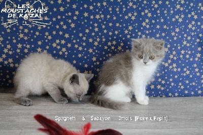 Sabayon - British Shorthair et Longhair