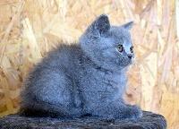 ODELYS - British Shorthair et Longhair