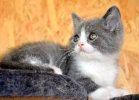ONE MILLION - British Shorthair et Longhair