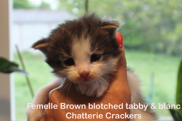 Femelle Brown blotched tabby & blanc