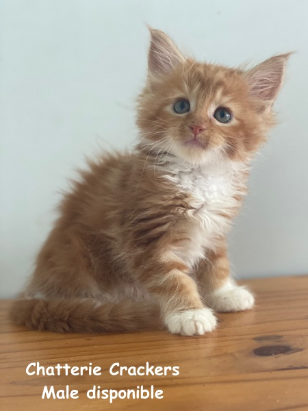 Femelle Red blotched tabby & blanc
