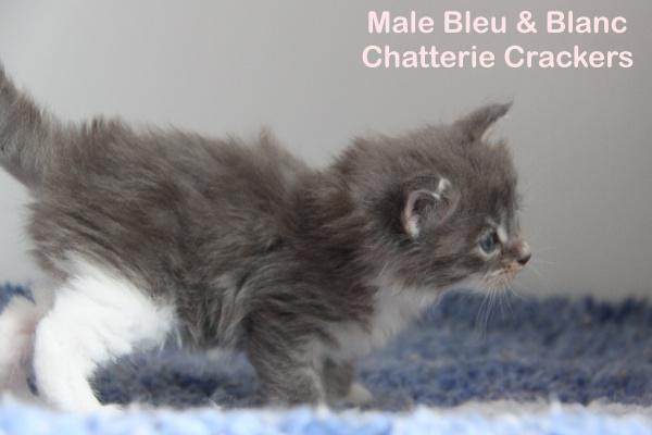 Male Bleu Blotched tabby & blanc -