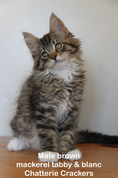 Male brown blotched tabby & Blanc