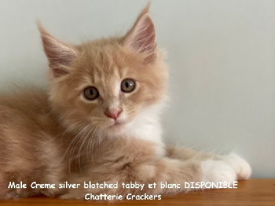 Mâle Creme silver blotched tabby & blanc - Maine Coon