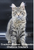 CRACKERS PICASSO - Maine Coon